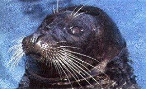 Sealhead